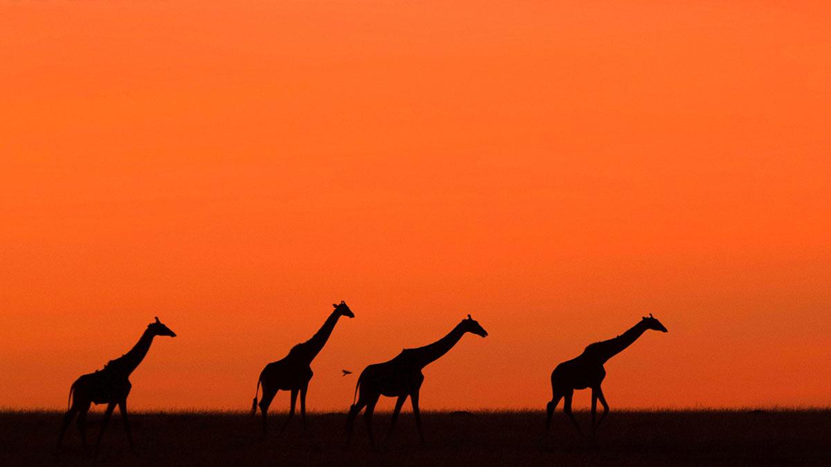 tanzania-giraffes