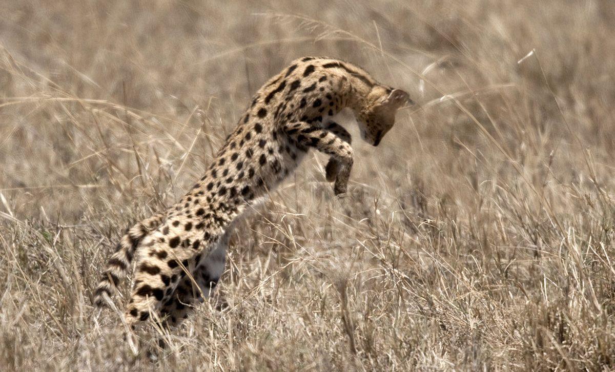 kenya-tanzania-serval