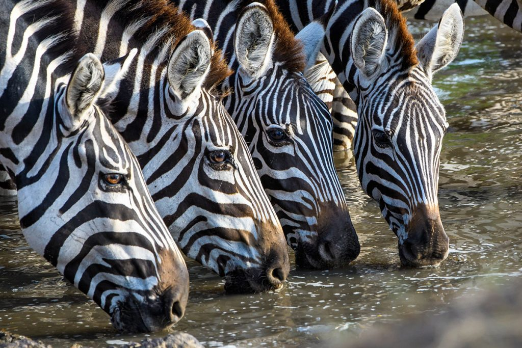 Lake Manyara-zebra drink